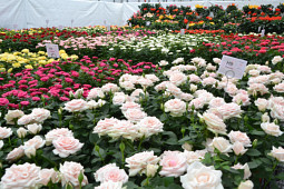 Agriom - Overview pot rose breeding program Difference Roses
