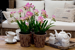 Van den Bos Flowerbulbs - Pot freesia