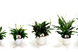 KP Holland - Spathiphyllum range KP Holland
