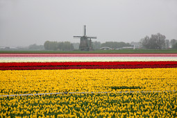 VWS Export - Import of Flowerbulbs - Flowering tulip fields