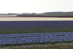 VWS Export - Import of Flowerbulbs - Flowering Hyacinthus fields