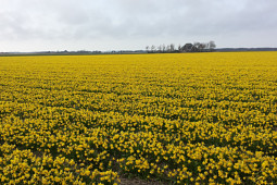VWS Export - Import of Flowerbulbs - Flowering Narcissus Fields