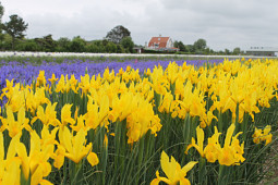 VWS Export - Import of Flowerbulbs - Flowering Iris Fields
