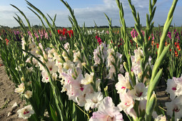 VWS Export - Import of Flowerbulbs - Flowering Gladiolus Fields