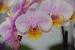 Hassinger Orchideen - Phalaenopsis Tine