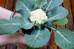 Prudac - Cauliflower F1 Baby