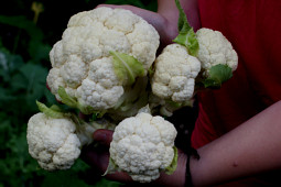 Prudac - Cauliflower F1 Multi Head