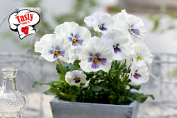Prudac - Tasty Viola F1 White w Blue Whiskers