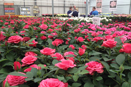 Agriom - Pot roses from Difference Roses