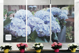 Agriom - Kanmara® from Hydrangea Breeders Association