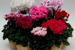 Varinova - Cyclamen assortment