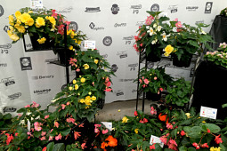 Benary Samenzucht - Mix it! Excellent Begonia Mixes