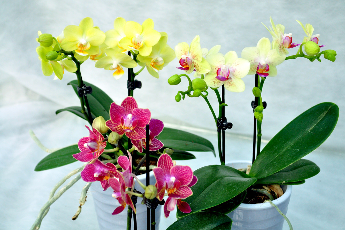 orchidee wiesbaden