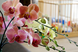 Hassinger Orchideen - Sunrise Varieties