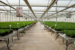 Cohen Propagation Nurseries - Inside a standard greenhouse