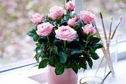 Roses Forever - Pot roses - Princess of Infinity®