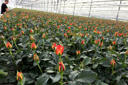 Roses Forever - Pot roses - Roses Forever® in production