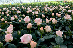 Roses Forever - Pot roses - Princess of Infinity® in production