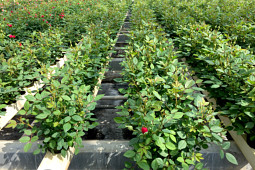 Roses Forever - Gourmet Roses™ production