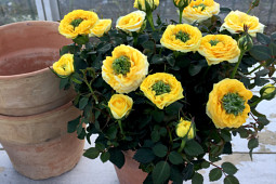Roses Forever - Pot roses - I am Different® Peek a Boo™