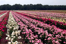 Roses Forever - Plant'n'relax® production field