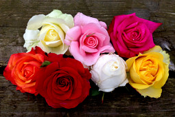 Roses Forever - Sweet Home Roses® - well shaped flowers and strong colors
