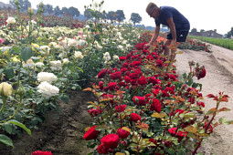 Roses Forever - Plant'n'relax® test field