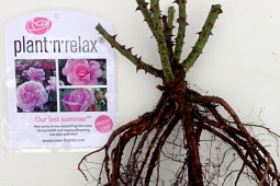 Roses Forever - Bare rooted Plant'n'relax® Our last Summer™