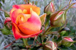 Roses Forever - Sweet Home Roses® Sweet Family™ - many buds