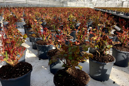 Roses Forever - Sweet Home Roses® - forcing early spring in greenhouses