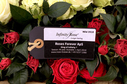 Roses Forever - Pot roses - King of Infinity®