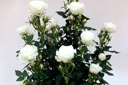 Roses Forever - Sweet Home Roses® Sweet Day™ - uniformed plants
