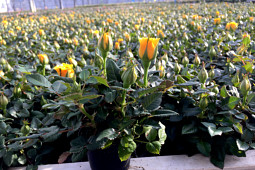 Roses Forever - Pot roses - Roses Forever® Hot Yellow™ in production - tiny 6 cm pots