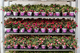 Hendriks Young Plants - Bella Fuchsia point of sale
