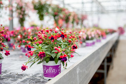 Hendriks Young Plants - Bella Fuchsia pot