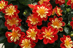 Hem Genetics - Dahlia Starsister red & yellow - vegetative