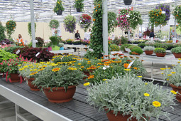 Jaldety Plant Propagation Nurseries - Gazania - From Jaldety Nursery