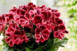 Hendriks Young Plants - Pelargonium Grandiflorum- Elegance Kate