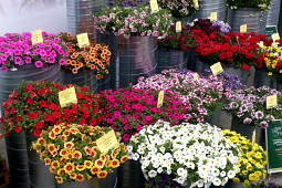Kientzler Jungpflanzen - Kientzler annuals assortment at Flowertrials