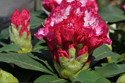 Hortinno - Rhododendron XXL close up