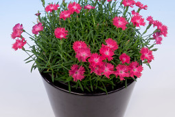 Armada Young Plants B.V. - Dianthus Diantini Flare®