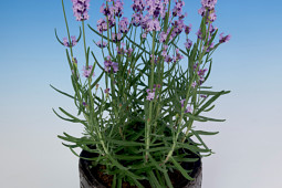 Armada Young Plants B.V. - Lavendel Jane®