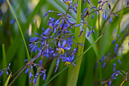 Ramm Botanicals - Kalantzis Plants - Dianella Kentlyn flowers
