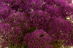 Armada Young Plants B.V. - Trachelium Briba® Purple