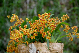 Hassinger Orchideen - Oncidium