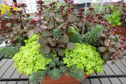 Jaldety Plant Propagation Nurseries - Sedum - From Jaldety Nursery