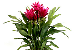KP Holland - Curcuma Siam™ Sublime