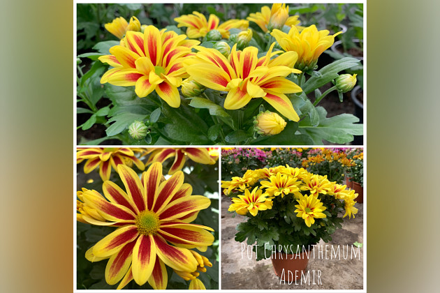 Chrysanthemen topf Hercules®