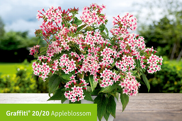 Super Hero - Tagetes patula