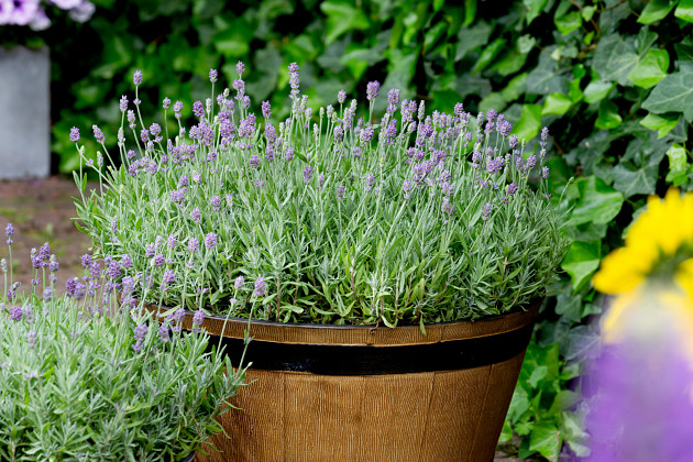 Lavandula angustifolia Cleo-Patio®